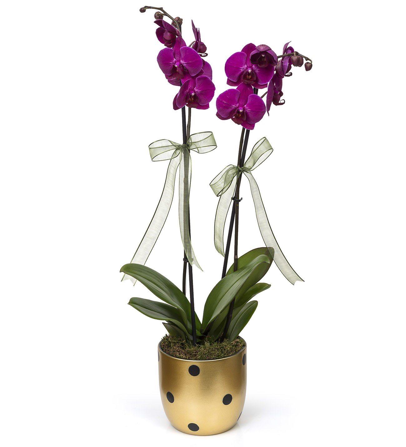 Mor Orkide-Ýskenderun